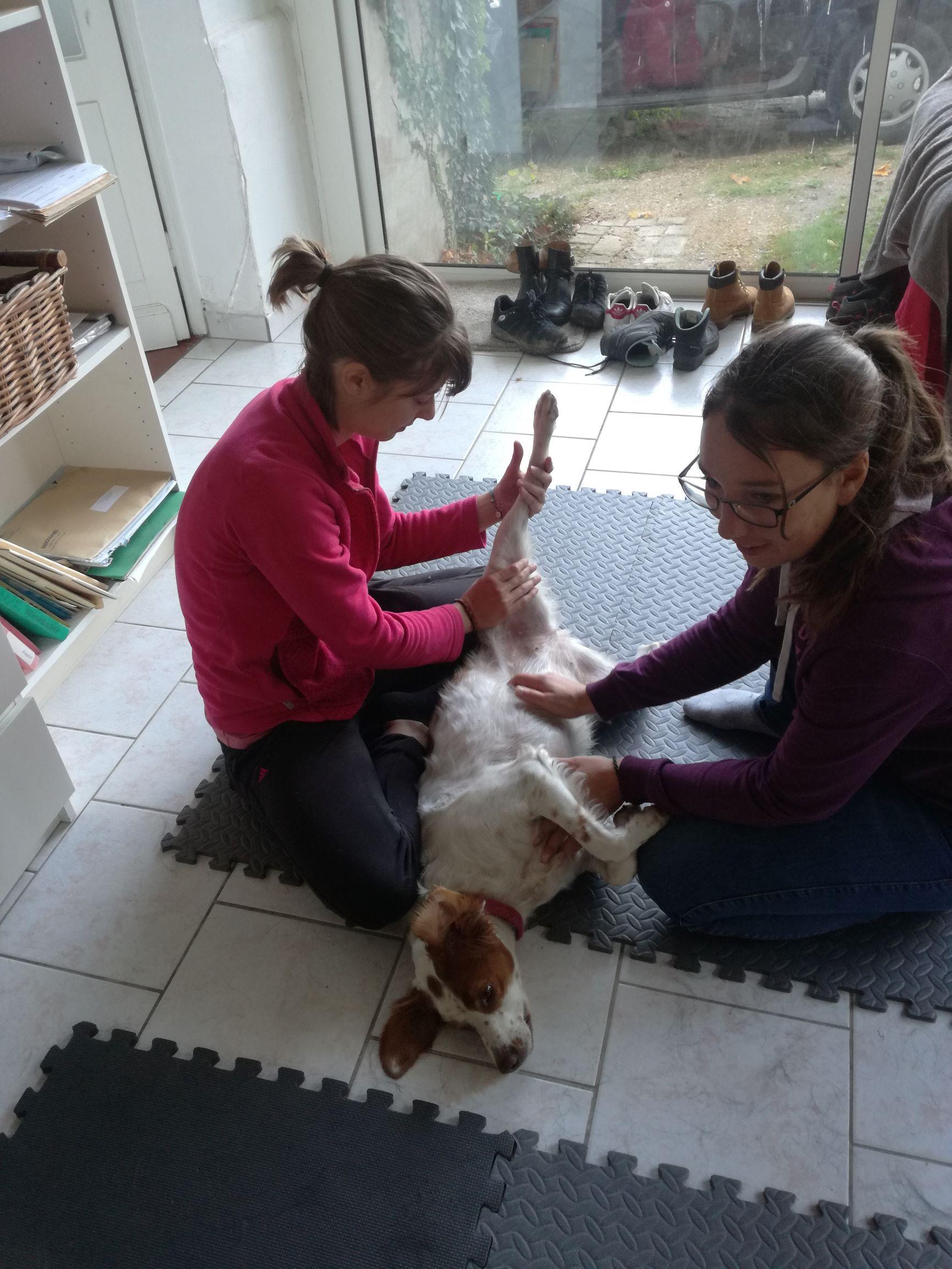 Shiatsu canin, remontée des méridiens yin de postérieur